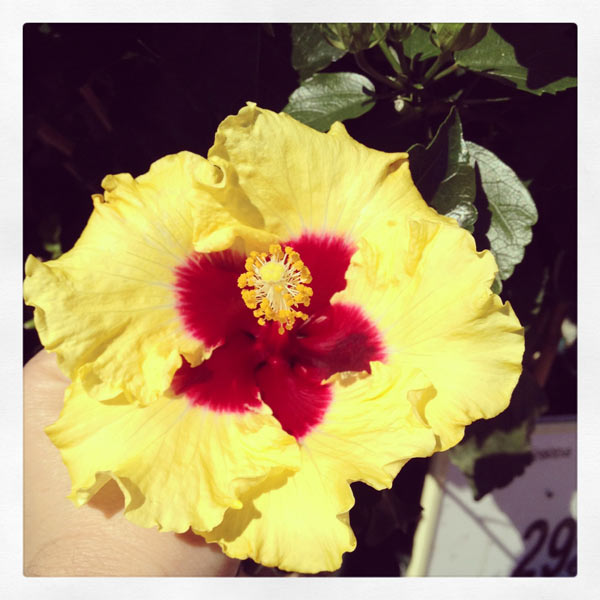 hibiscum